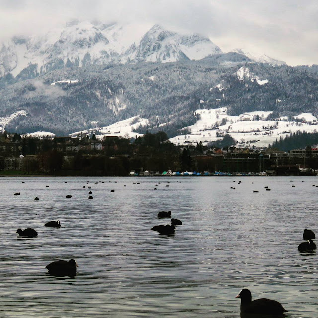 Long Winter Weekend Lucerne Switzerland - Coots on Lake Lucerne