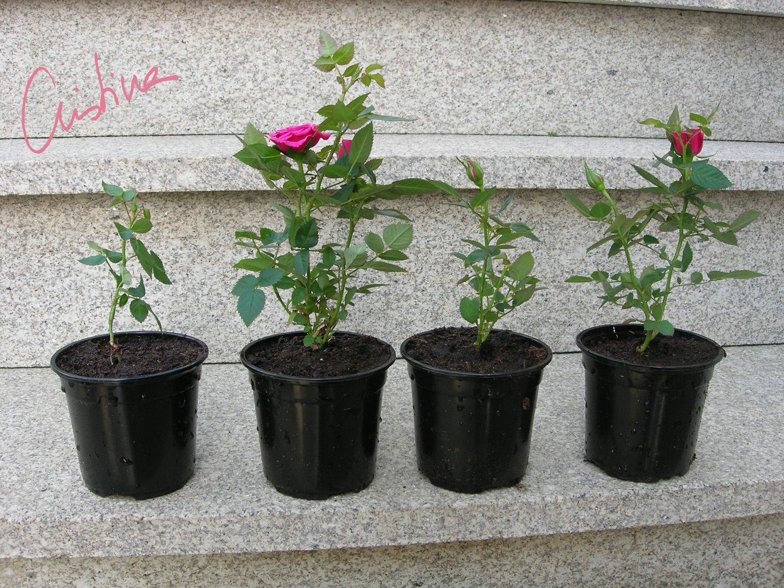 D as de rosas cultivo de rosales miniatura i como - Rosales en macetas ...
