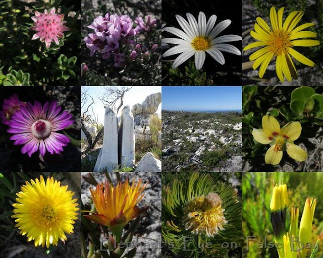 Gifkommetjie at Cape Point June flowers