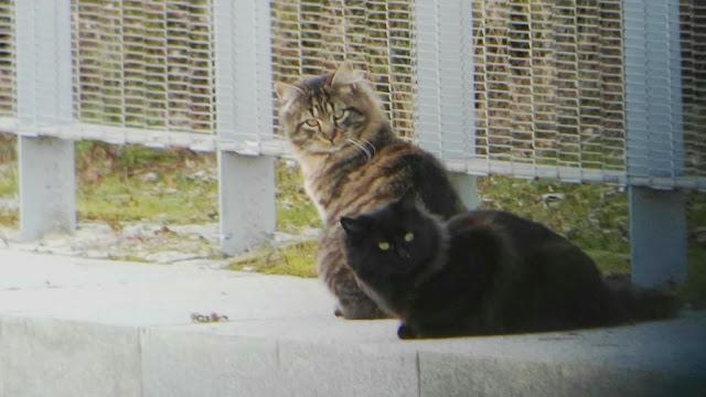 Gatos cimarrones, eliminación, Madrid-Río, depredadores, Felis cattus,