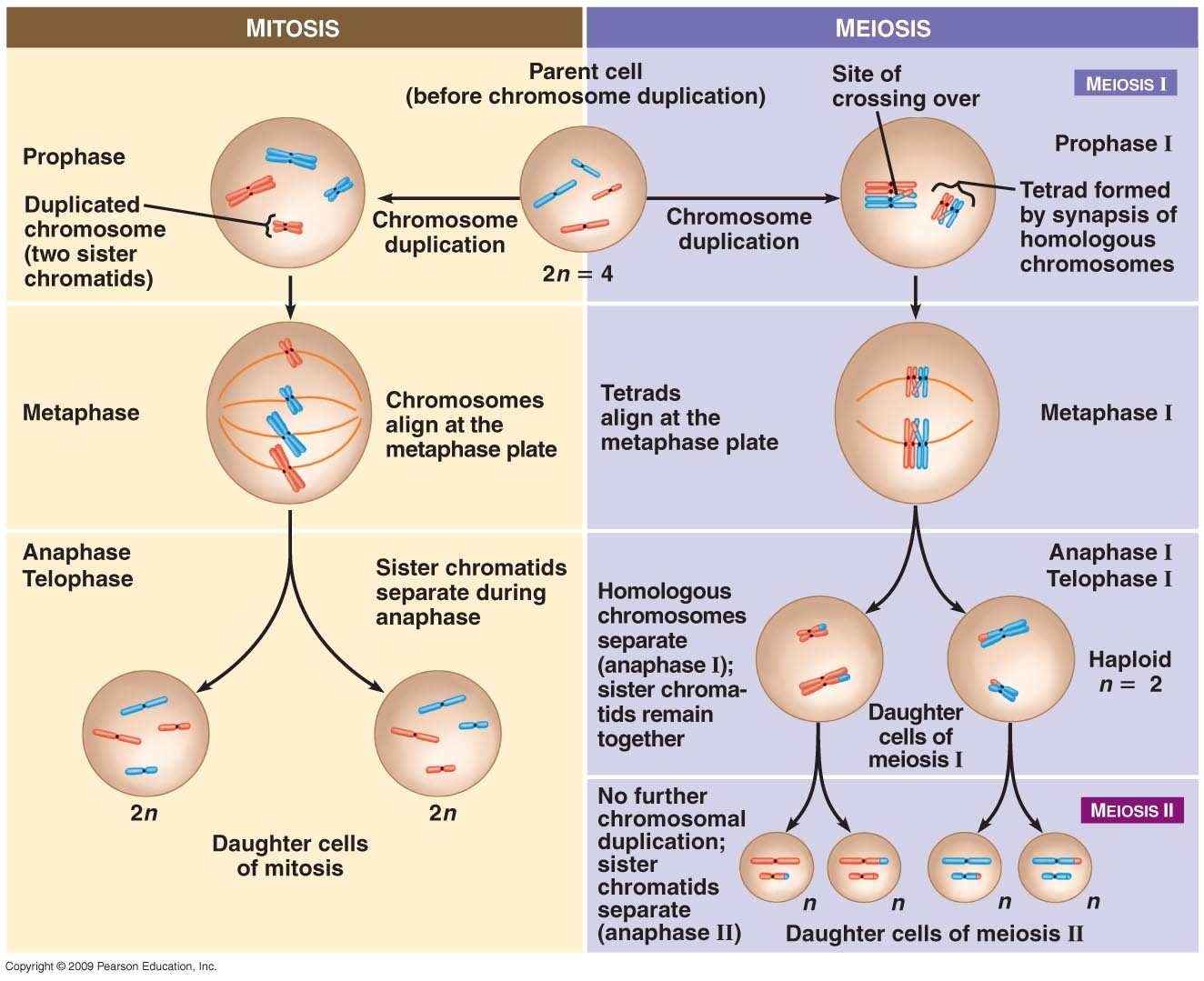 escience lab 11 mitosis Mitosis and meiosis introduction 3-i mitosis key concepts i concept 1: the  cell cycle closer look: nuclear division (karyokinesis) closer look:  interphase.