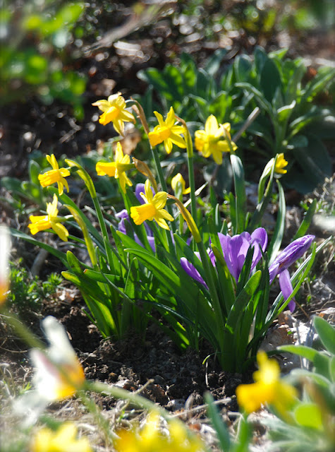 Narcissus 'Tete-a-tete' and Crocus 'Grand Maitre' in the Hill Garden.