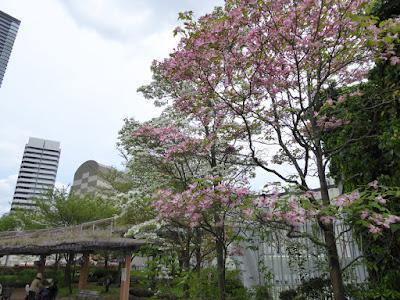 下福島公園のハナミズキ