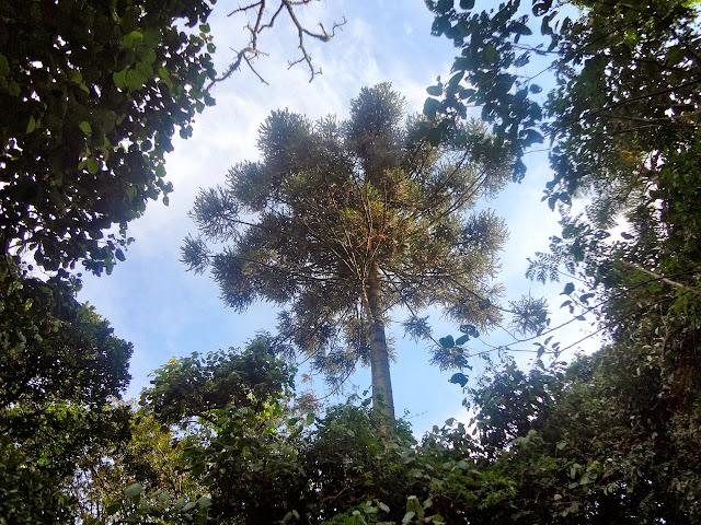 Araucária - Parque Estadual da Cantareira