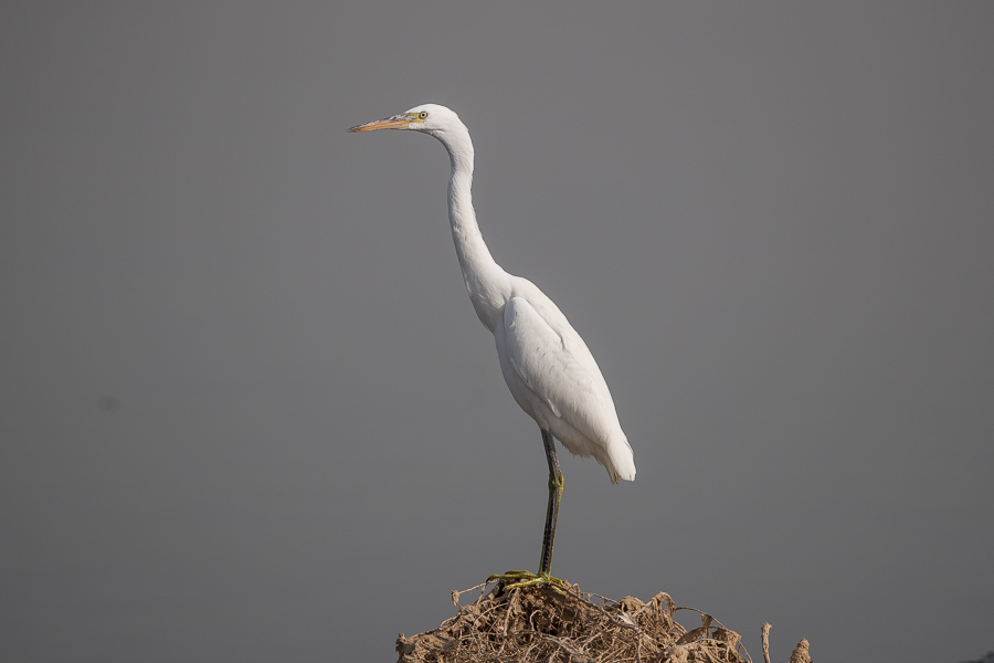Indian Reef Heron - Egretta gularis
