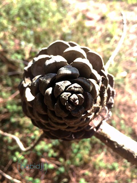 pomme de pin vue du dessus sur une branche