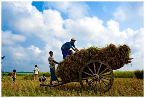 Bangladesh The land of six seasons : Late Autumn:Bangladesh