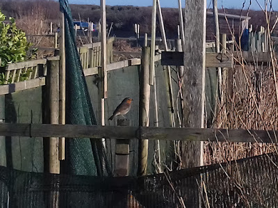 Allotment Wildlife - Robin