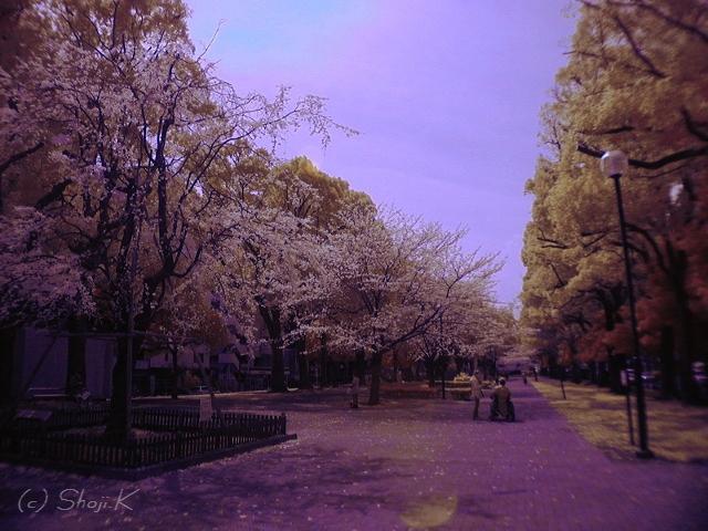大通り公園の歌丸桜