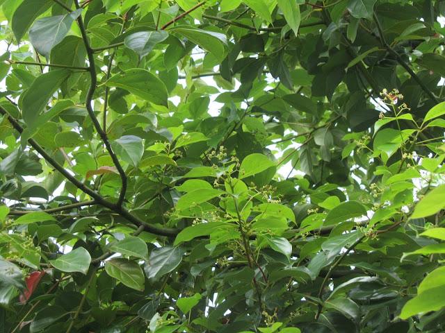 Fioritura Cinnamomum camphora