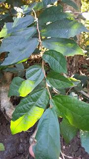 Daun pohon walikukun