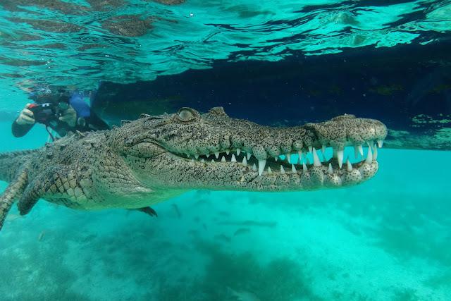 Crocodile almost attacks