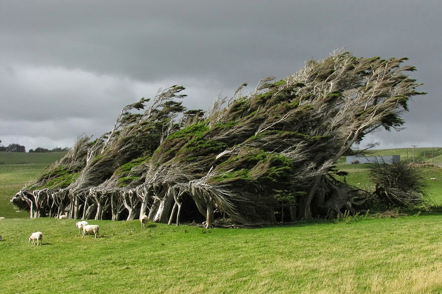 #3. Trees deformed by the wind in New Zealand - 16 Of The Most Magnificent Trees In The World.