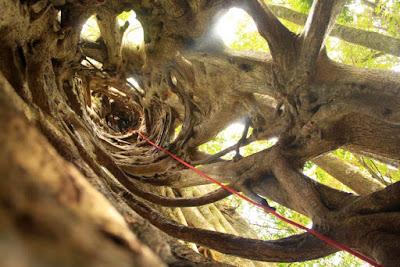 Ficus en Costa Rica