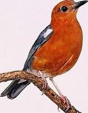 Burung Anis Merah bakalan