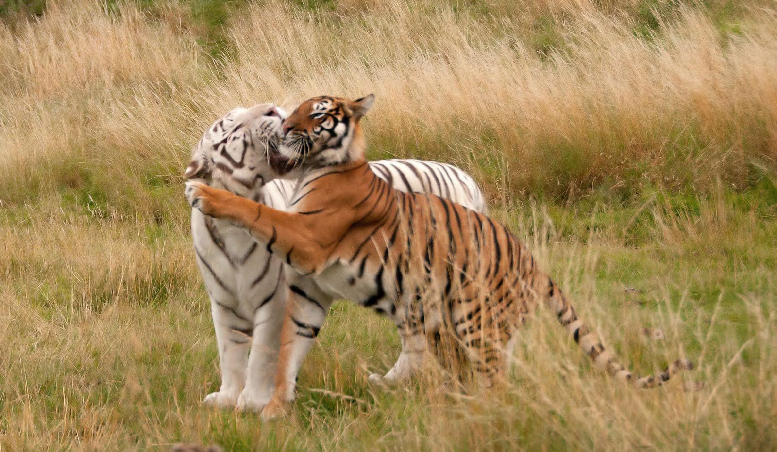 Anthony Miners Wildlife Photos: Bengal Tigers