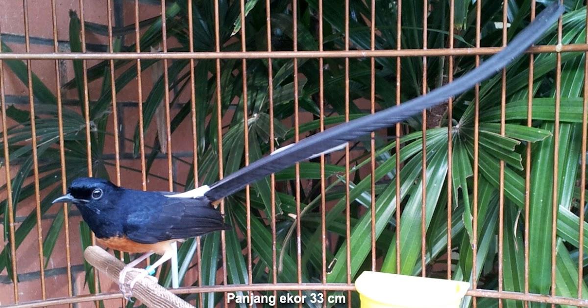 cara jitu memelihara burung murai batu gacor   kicau burung