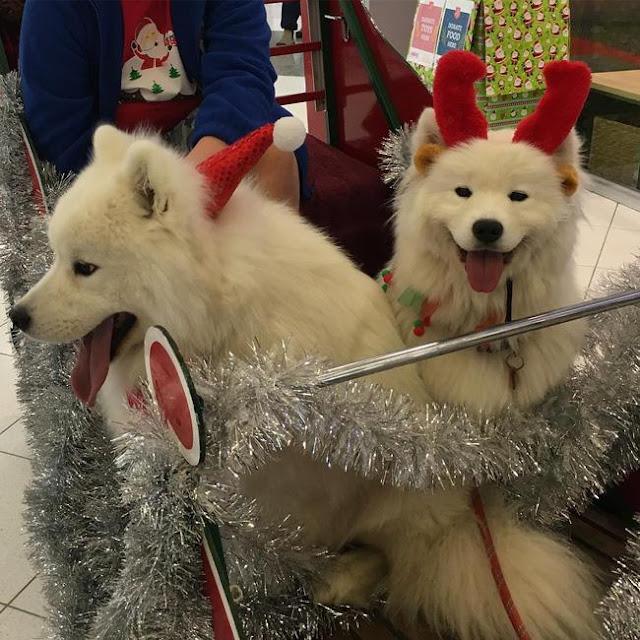 """Chú chó """"cosplay"""" tuần lộc đáng yêu nhất mùa Giáng sinh"""