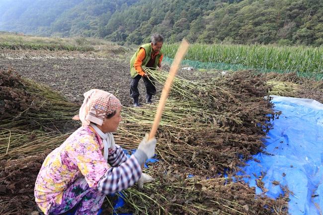 Campesinos coreanos recogiendo semillas de perilla