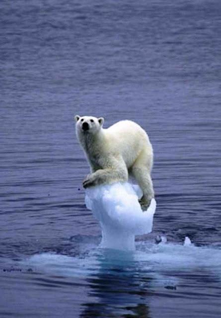 Urso polar não é bicho bonzinho mas feroz. Sobe no gelo para para catar, matar e comer animais marinos.