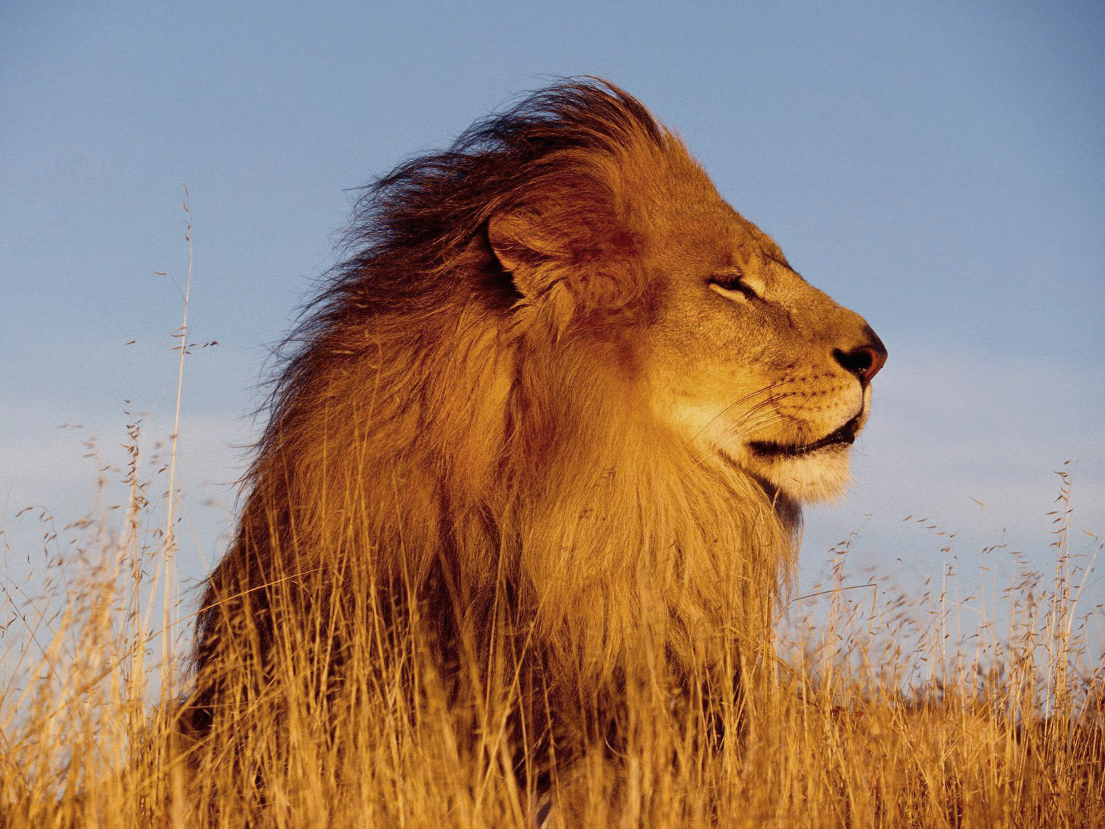HD Lion Pictures Lions Wallpapers - HD Animal Wallpapers