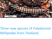 http://sciencythoughts.blogspot.co.uk/2015/01/three-new-species-of-polydesmid.html