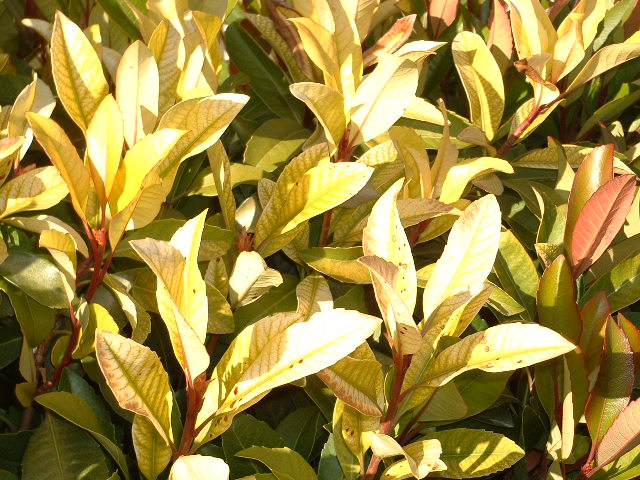 Viragrow Delivers The Old Photinia Yellowing Problem