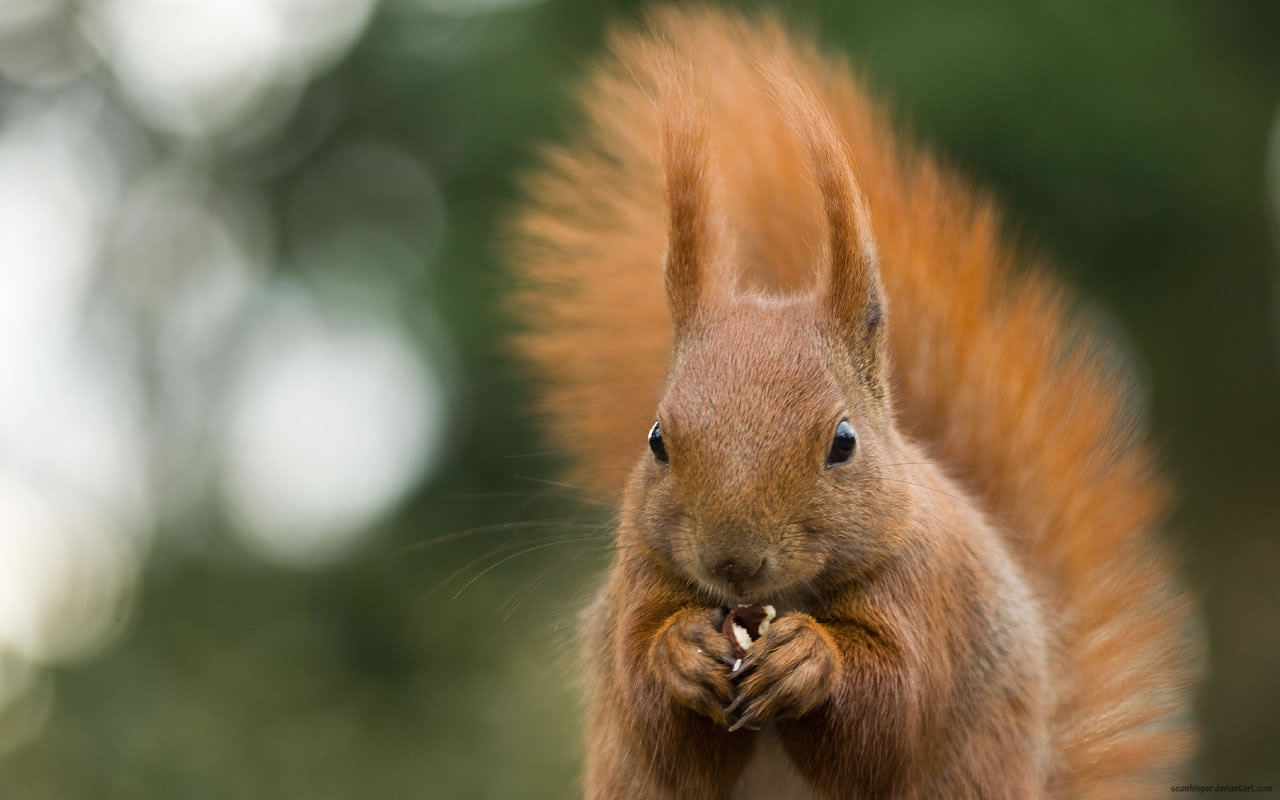 Squirrel Wallpapers - Pets Cute and Docile