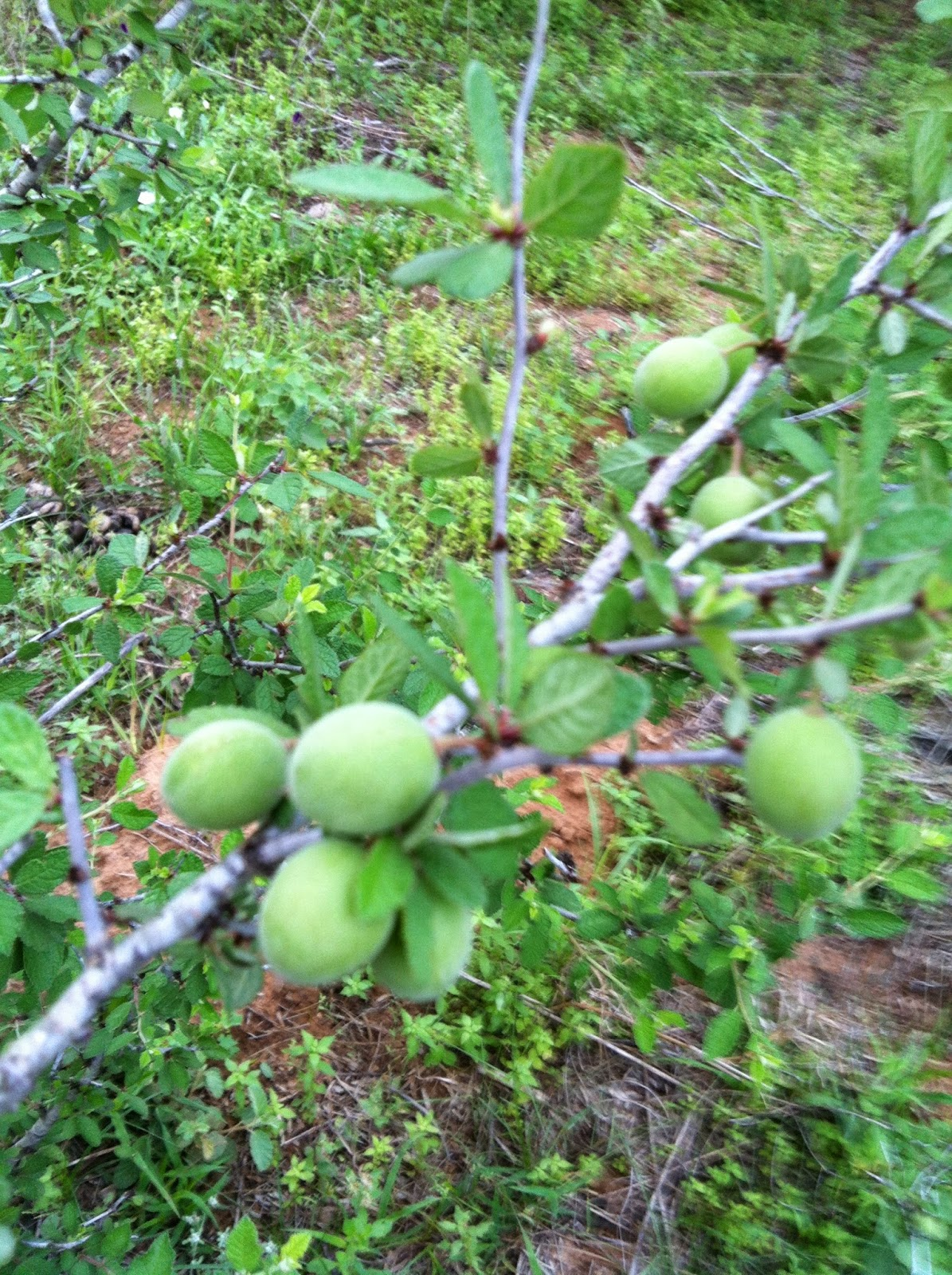 Here At The Old Woods Roamer S Hideout We Ve Got Duraznillo Growing In Clumps Within A Few Yards Of Cabin But Getting Taste Sweet Fruit Is