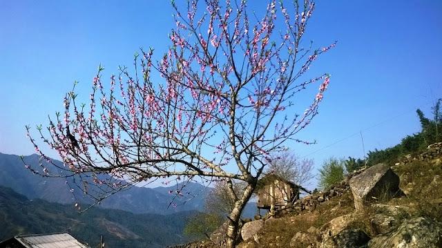 Sapa charm in cherry blossom season 2