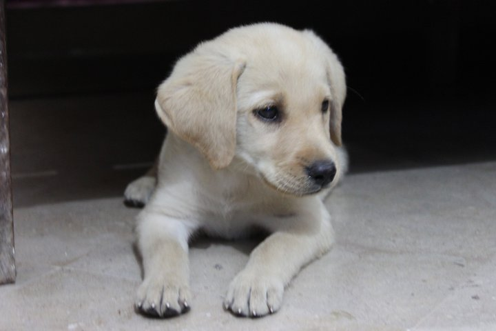 Cute Labrador Puppy for sale