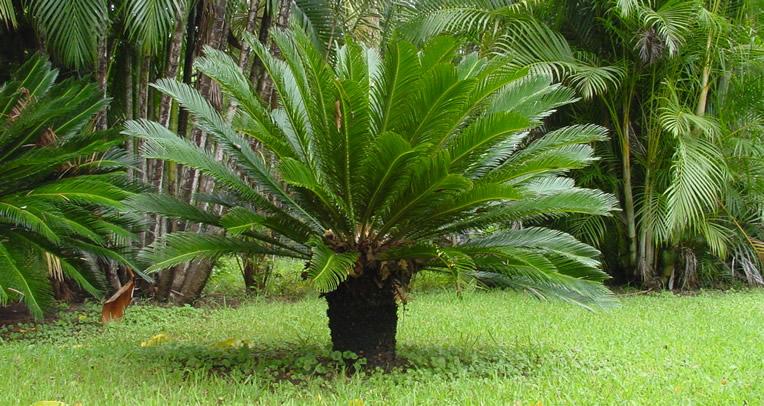 plantas jardim nordeste:Cica – Cycas revoluta