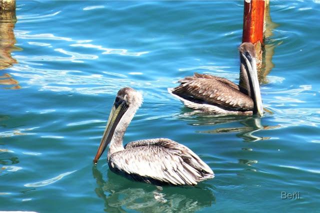 pelicanos en el golfo de cariaco en venezuela