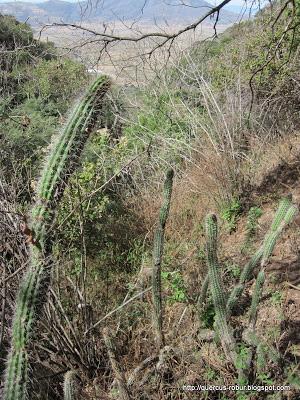 Bosque de cactus en Cerro Viejo
