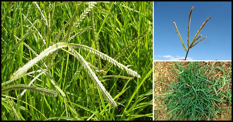 Paragis A Miracle Grass That Can Cure Many Diseases Dr