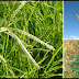 PARAGIS: A Miracle Grass That Can Cure Many Diseases