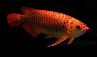 Pentingnya Mengenal Ikan Hias Termahal Di Dunia
