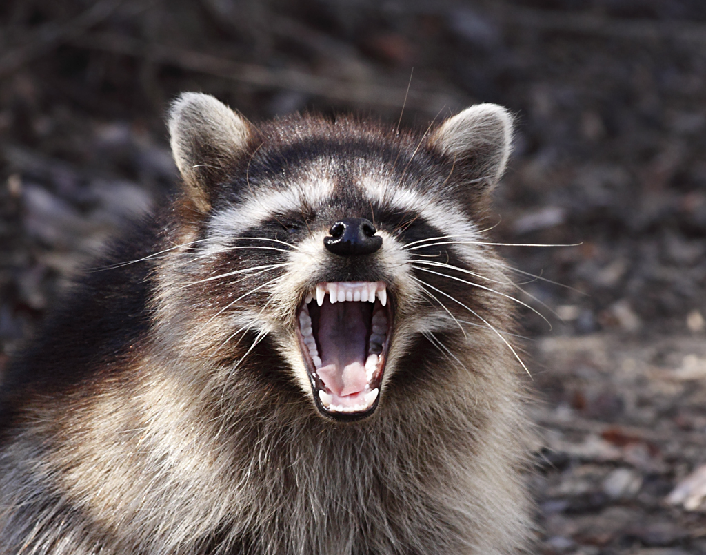 Pictures Of Raccoons 35