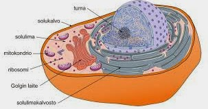 Lysosomi Tehtävä