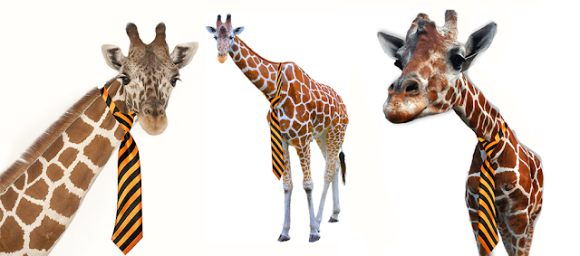 When giraffes go to work do you think they put the tie at the top or bottom of their necks?