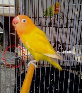 Cara Mengatasi Lovebird Yang Telat Ngekek Di Lapangan