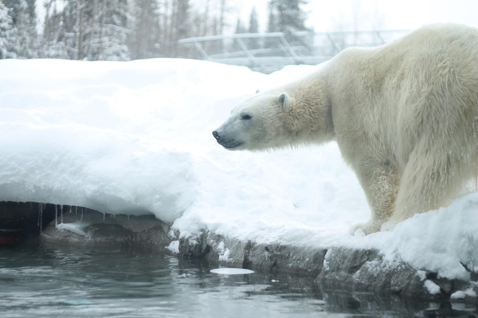 Simply Abbie: The Polar Bear Habitat