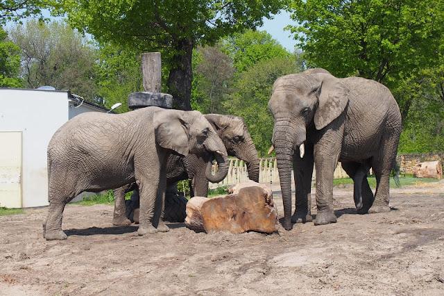 Title: Elephants from Warsaw zoo, Source: own resources, Authors: Agnieszka and Michał Komorowscy