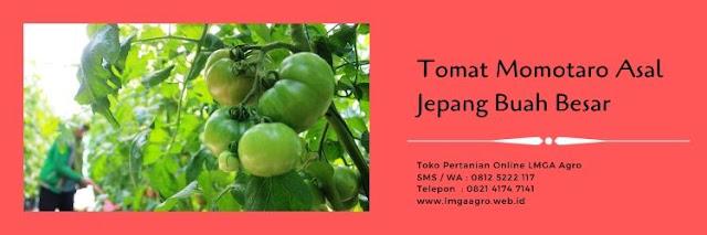 tomat momotaro,budidaya tomat,tanaman tomat,buah tomat