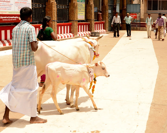 Vacas sagradas en India