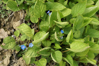 Petite bourrache - Omphalodes - Omphalodes verna
