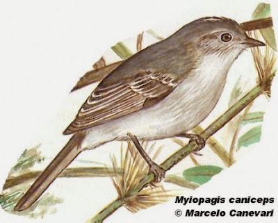 Fiofío ceniciento, Myiopagis caniceps