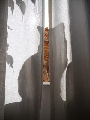 gato entre cortinas