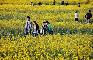 Jeju Canola Flower Festival