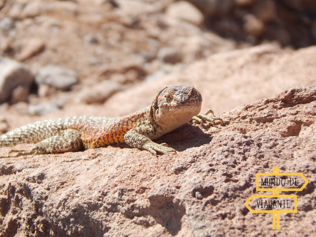 Termas de Puritama: animais do Deserto do Atacama